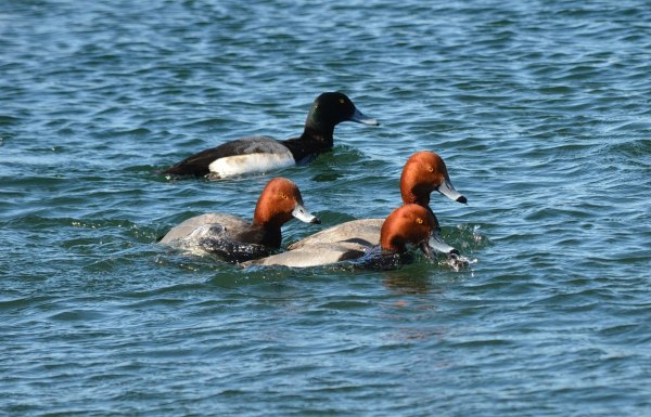 redhead ducks, tommy thompson park, toronto, pic 8
