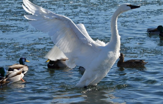 tundra swan, unwin bridge, toronto, 12