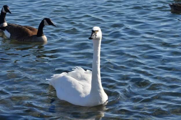 tundra swan, unwin bridge, toronto, 13