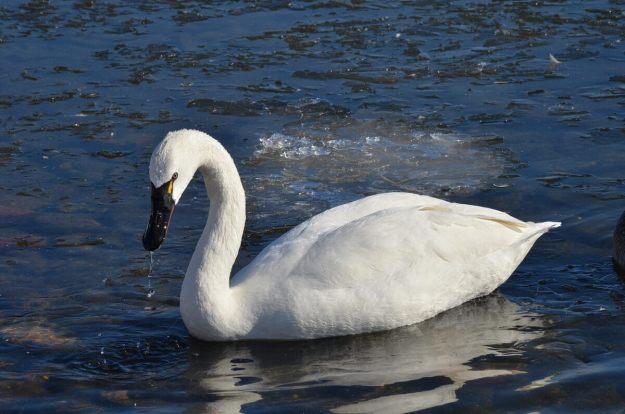 tundra swan, unwin bridge, toronto, 2