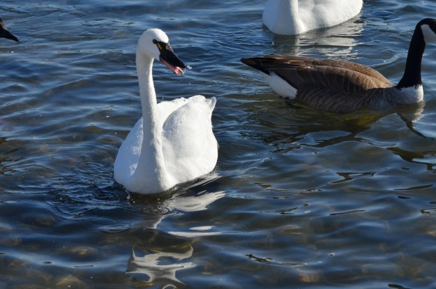 tundra swan, unwin bridge, toronto, 3