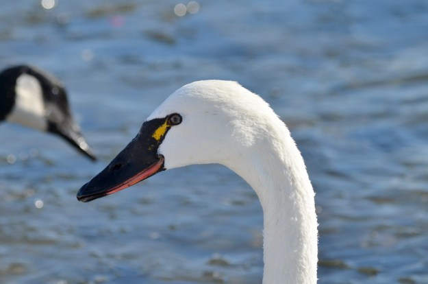 tundra swan, unwin bridge, toronto, 5