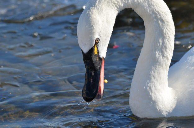 tundra swan, unwin bridge, toronto, 6
