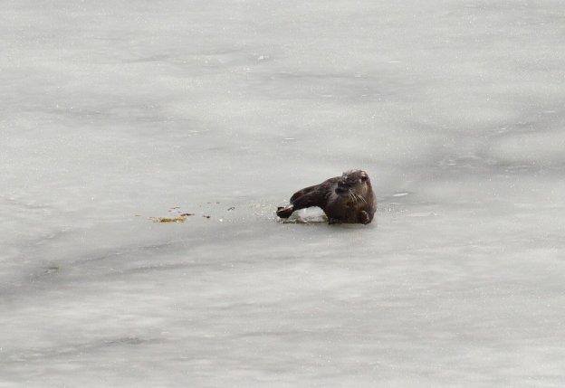otter laying on ice, minden, ontario 2