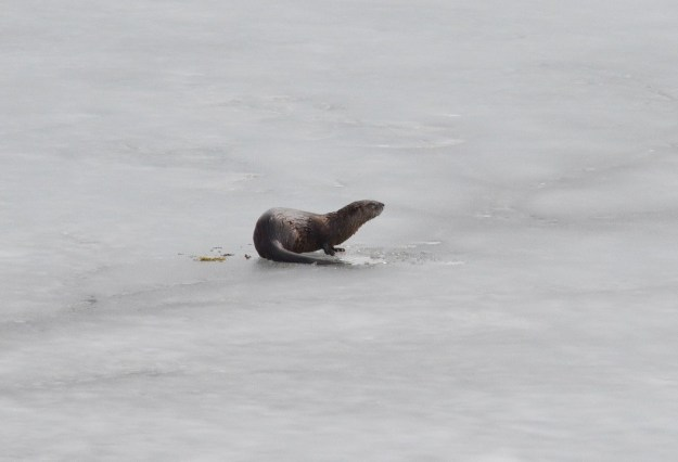 otter laying on ice, minden, ontario 3