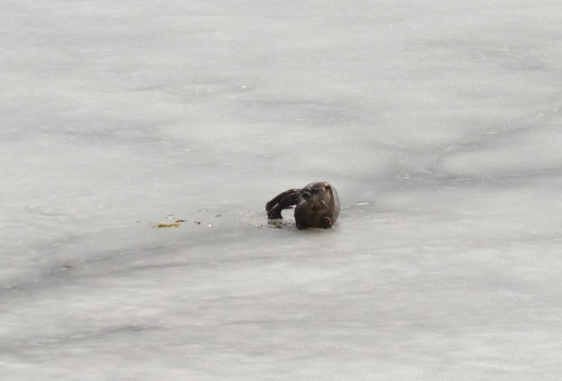 otter laying on ice, minden, ontario