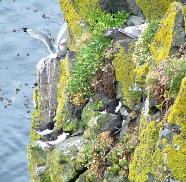 An image of a Razorbill auks beside gulls on the cliffs at Carrick-a-Rede Island in Northern Ireland. Photography by Frame To Frame - Bob and Jean.