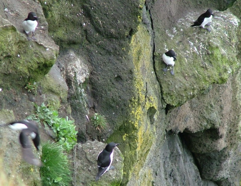 An image of Razorbill auks on the cliffs at Carrick-a-Rede Island, Northern Island