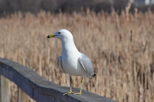 ring-billed gull at lyne shores conservation area, whitby, 1