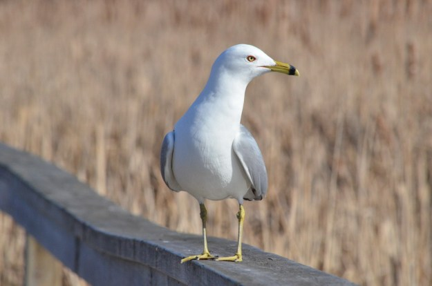 ring-billed gull at lyne shores conservation area, whitby, 2
