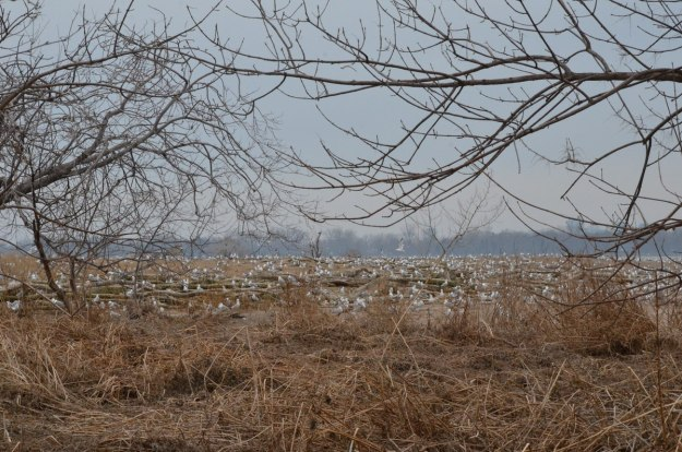 ring-billed gull colony at tommy thompson park, toronto, 2