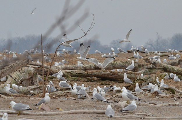 ring-billed gull colony at tommy thompson park, toronto, 4