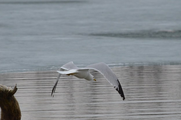 ring-billed gull takes flight, tommy thompson park, toronto, 3
