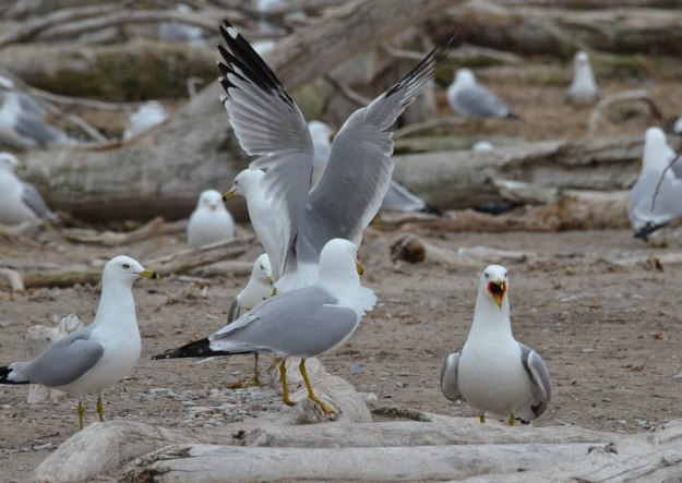ring-billed gulls, tommy thompson park, toronto, 3