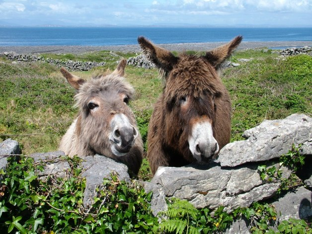two donkeys on inishmore island, ireland 1