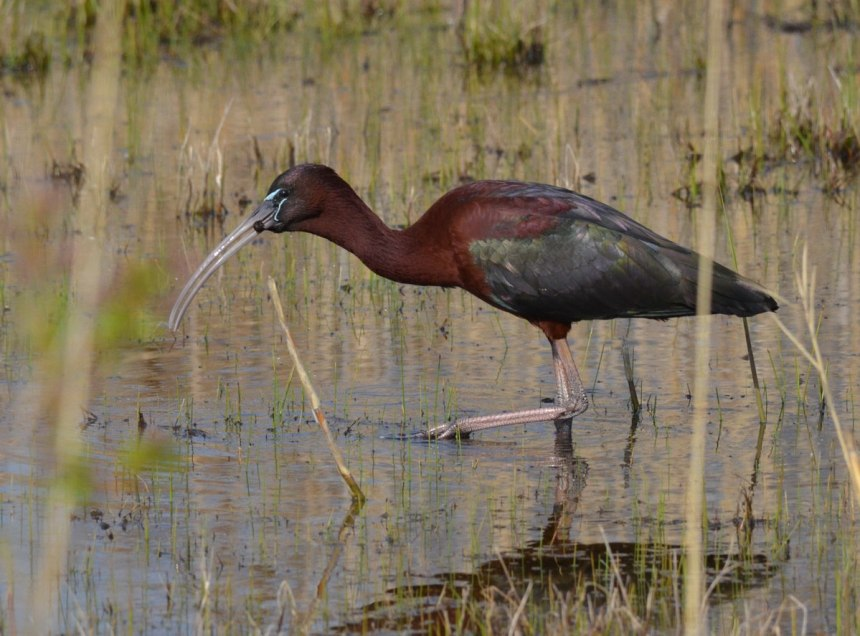 photograph of Glossy Ibis in a wetland in Whitby, Ontario, Canada.