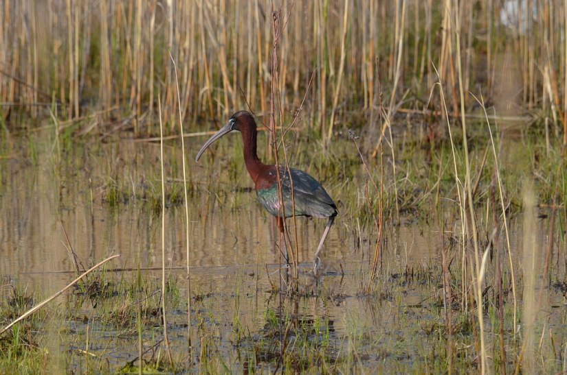 Glossy Ibis walking through a wetlands in Whitby, Ontario, Canada