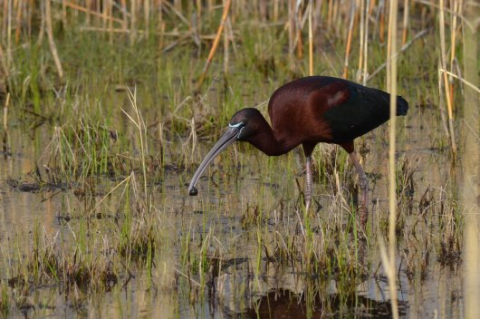 Glossy Ibis eats a leech in a wetlands in Whitby, Ontario
