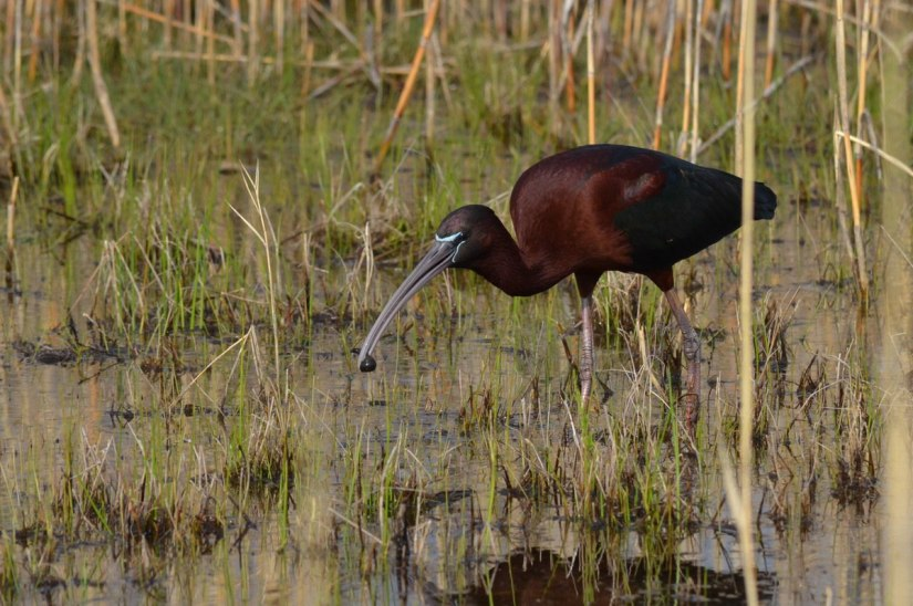 Glossy Ibis catches a leech in a wetlands in Whitby, Ontario, Canada