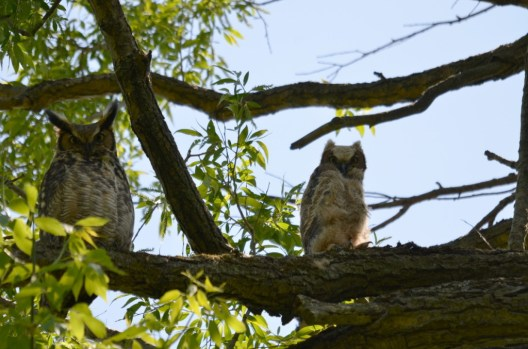 photograph of a Great Horned Owl and Owlet at Second Marsh in Oshawa, Ontario, Canada.