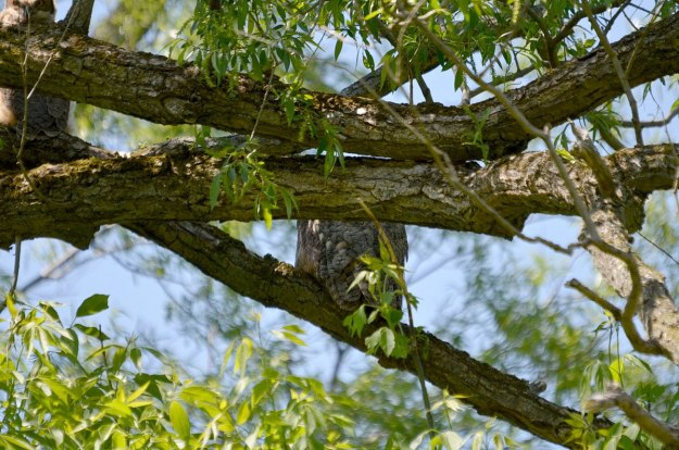 great horned owl, second marsh, oshawa, ontario, pic 3