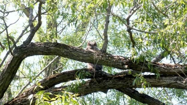 great horned owlet, second marsh, oshawa, ontario, pic 10