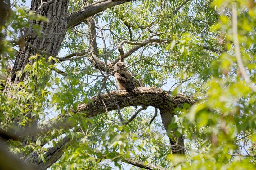 great horned owlet, second marsh, oshawa, ontario