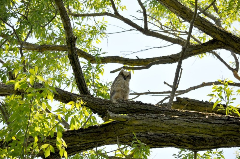 great horned owlet, second marsh, oshawa, ontario, pic 8