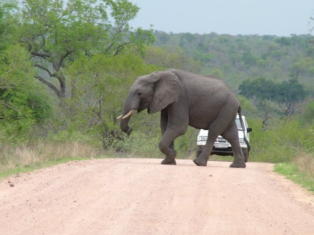 elephant at kruger national park - south africa