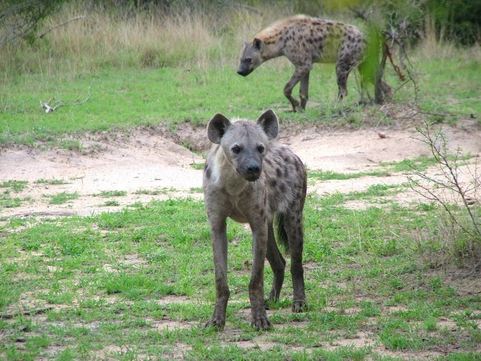 hyena in kruger national park, south africa