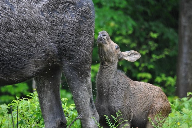 baby moose fights black flies, algonquin park, ontario