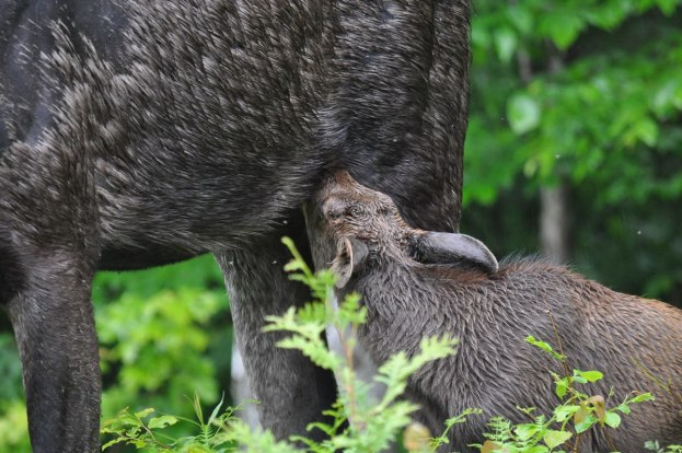baby moose gets milk from mother, algonquin park, ontario