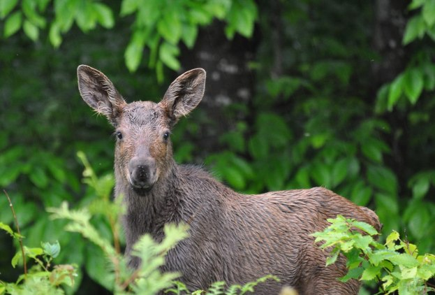 baby moose looks at camera, algonquin park, ontario