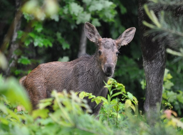 baby moose looks towards camera, algonquin park, ontario