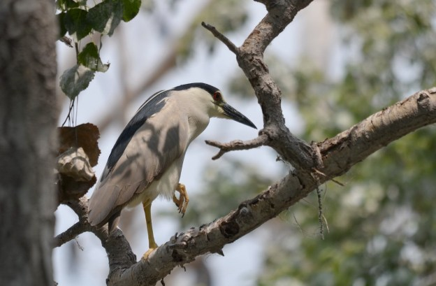 A Black-crowned Night Heron on a tree limb at Tommy Thompson Park in Toronto, Ontario, Canada