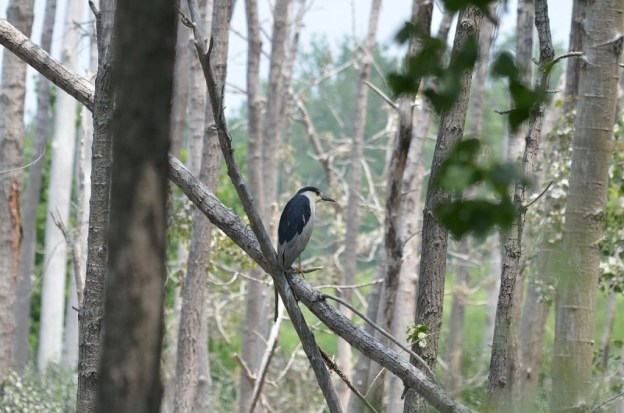black-crowned night heron sits among trees, tommy thompson park, toronto