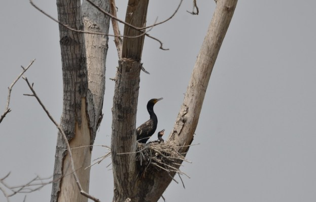 double-crested cormorant and baby at tommy thompson park, toronto, pic 5