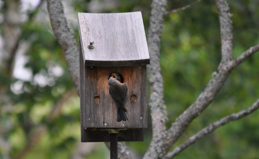 eastern bluebird feeds a fledgling, oxtongue lake, ontario