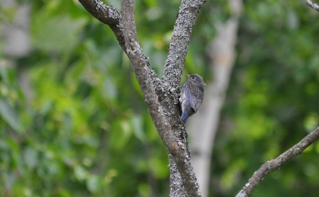 eastern bluebird fledgling on side of tree, oxtongue lake, ontario
