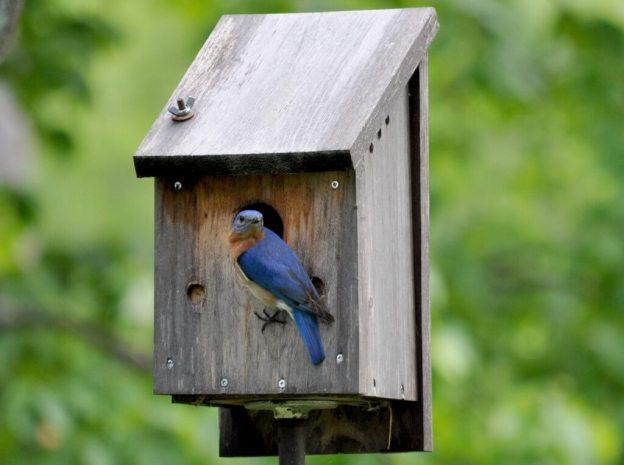 eastern bluebird male, looks to camera, oxtongue lake, ontario