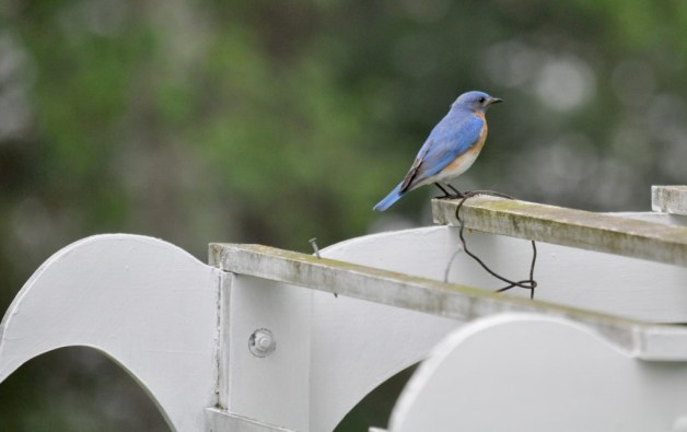 eastern bluebird male, on arbour at oxtongue lake, ontario