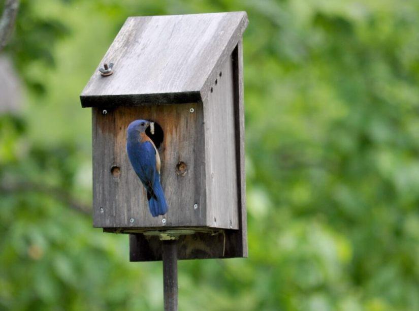 eastern bluebird with caterpillar, oxtongue lake, ontario, 1