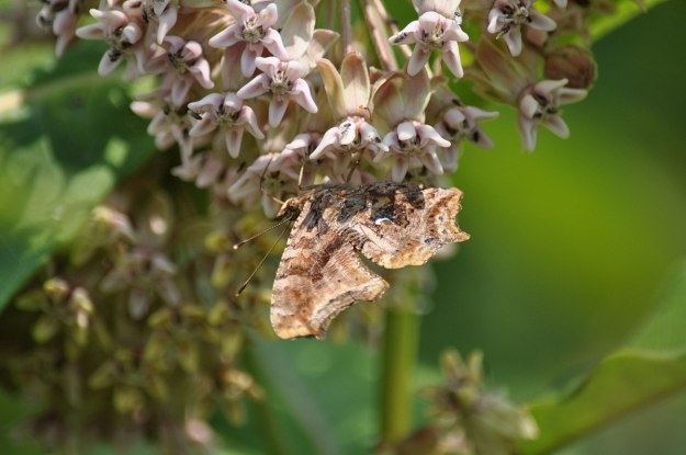 eastern comma butterfly, tommy thompson park, pic 12
