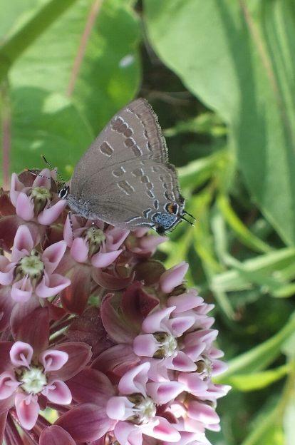 hickory hairstreak butterfly at milkweed flower, tommy thompson park, toronto, ontario
