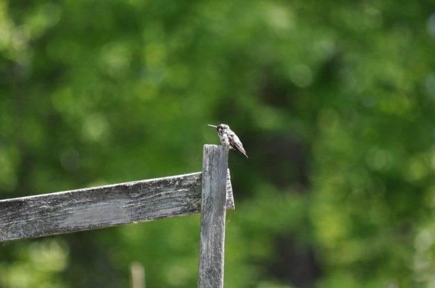 Leucistic Ruby Throated Hummingbird at Shell Park garden, Oakville, Ontario