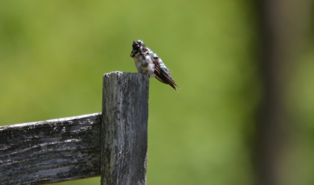 Leucistic Ruby Throated Hummingbird on a fence post at Shell Park, Oakville, Ontario