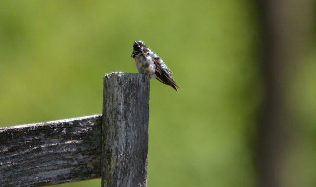 Leucistic Ruby Throated Hummingbird on a fence post at Shell Park, Oakville, Ontario