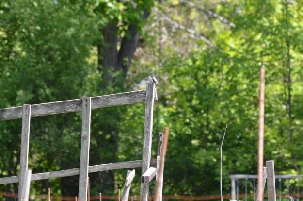 Leucistic Ruby Throated Hummingbird on post at Shell Park, Oakville, Ontario
