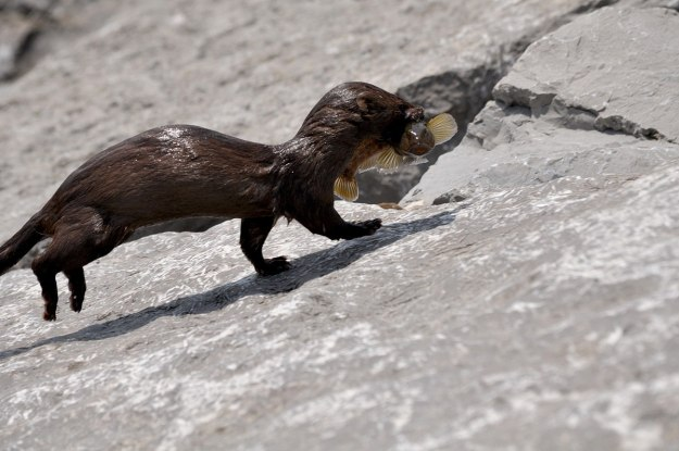 mink, lake ontario, rouge national park, toronto, 11