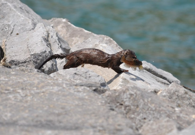 mink, lake ontario, rouge national park, toronto, 3